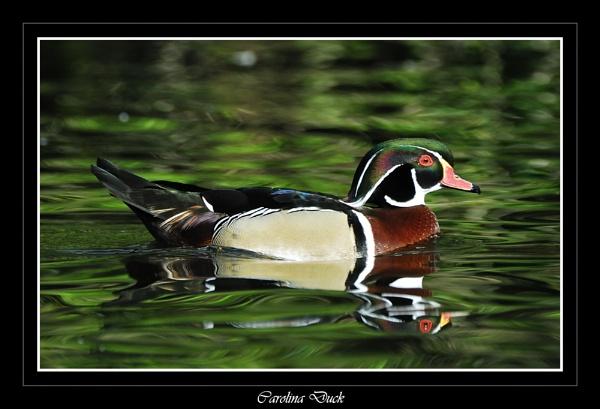 Carolina Duck by markb2815