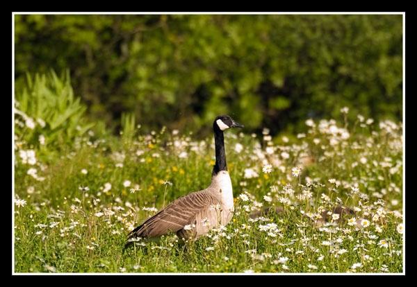 Canada Goose by veggiesosage