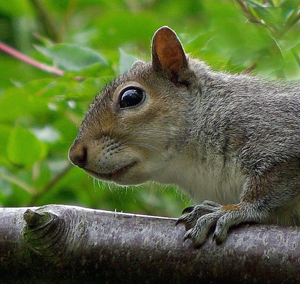Grey squirrel by JWA