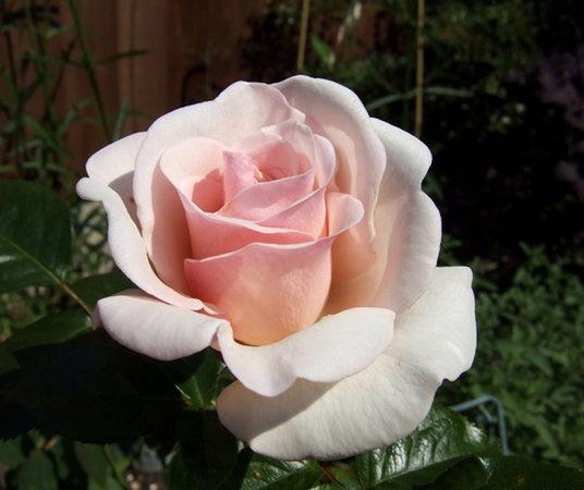 Soham Rose by theeyesoftheblind