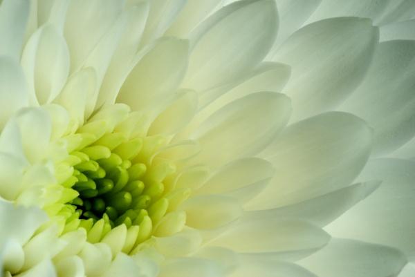 Chrysanthemum 1 by Tony_W
