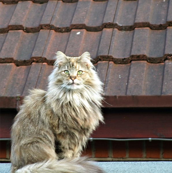 Cat On A Roof by sandrish