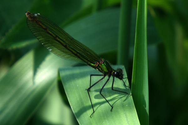 Calopteryx virgo - Beautiful Demoiselle by digitalcaptive