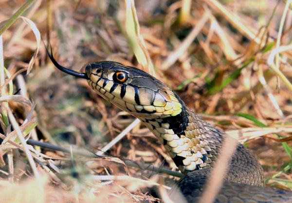 Grass Snake by Julian