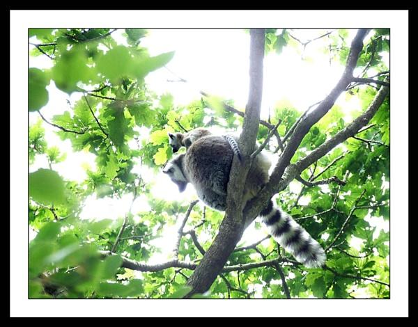 Ring Tailed Lemur by mark.kavanagh
