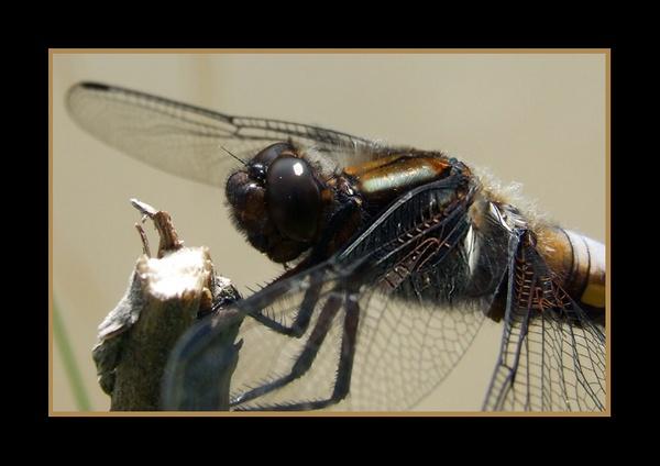 Dragon fly by Lorraine
