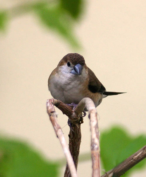 Silverbill by magnus