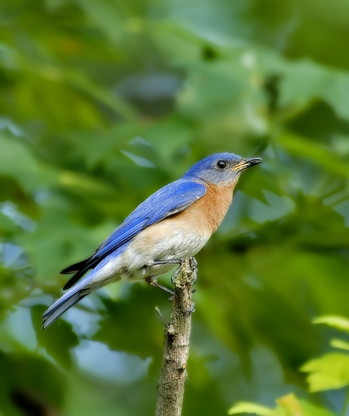 Blue Bird (Male) by Ceciliat