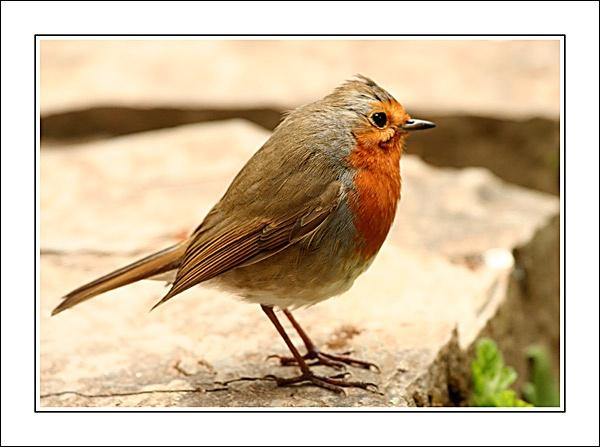 Robin 2 by Steb