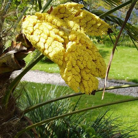 Fan Palm Seed Pod by Caledonia
