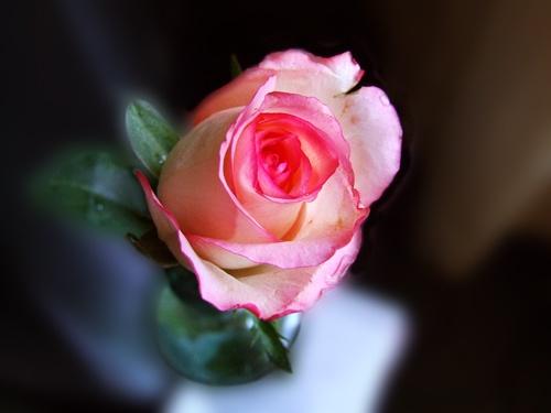 Little rose by Juliet