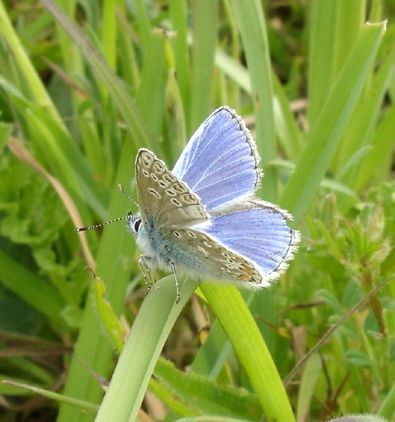 Common Blue 2 by bubbles30