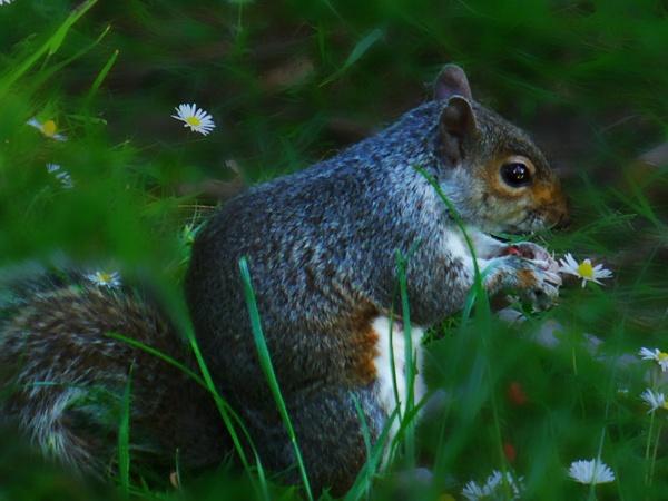 Dusky Squirrel by chensuriashi