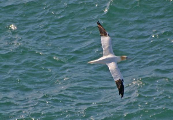 Gannet Gliding by Jennie277