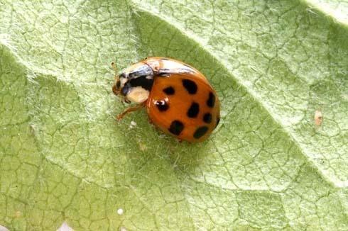 Ladybird by ORCHIDCUSTOMER