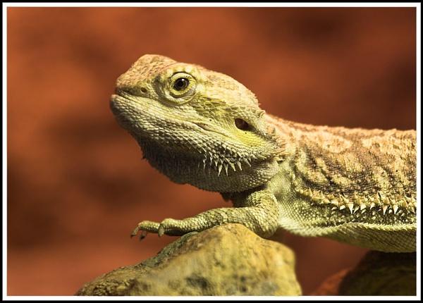 Lizard by ronr