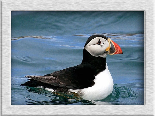 A puffin a day by ala_fred