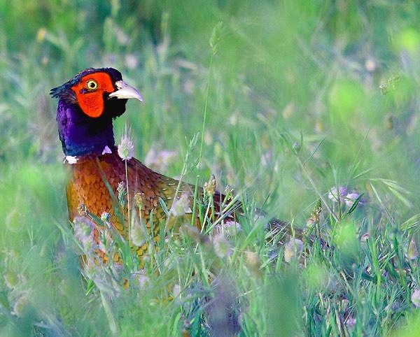 Pheasant by norton