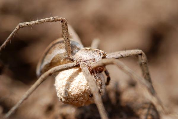 Nursery Web Spider (female) by sferguk