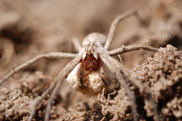 Nursery Web spider 2 by sferguk