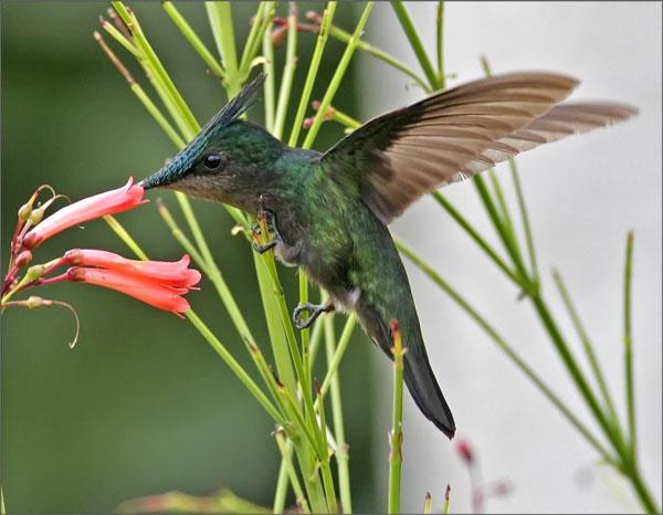 Hummingbird 1 by francisr