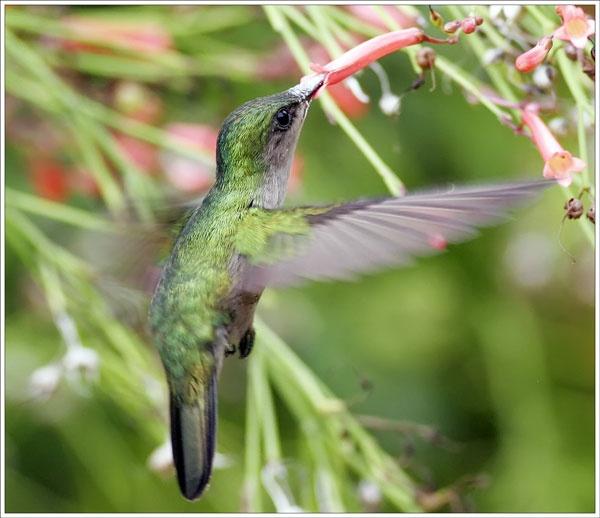Humming Bird II by francisr