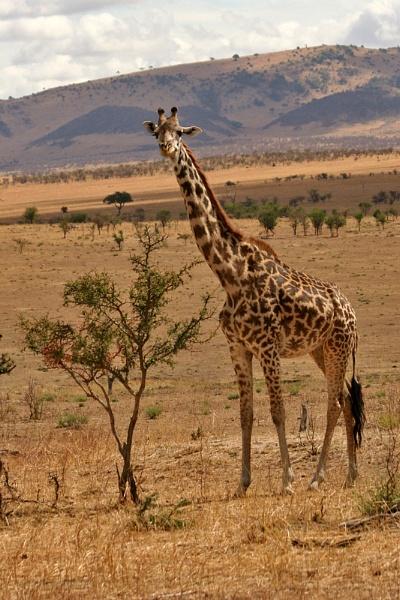 Giraffe by tigs