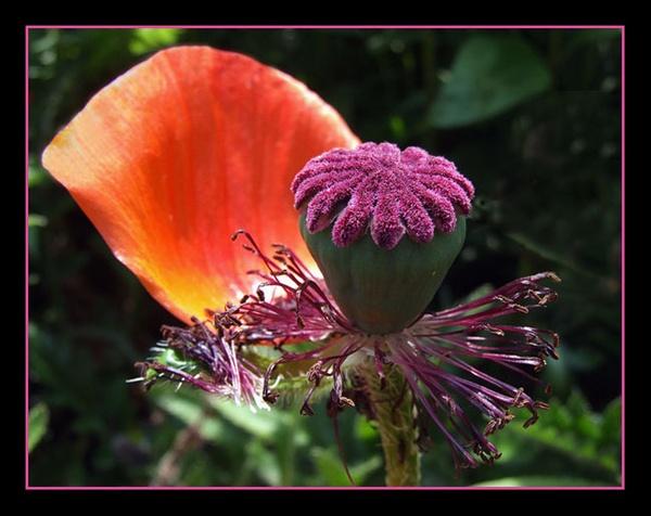 Poppy by Lorraine