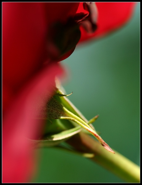 Rose Abstract by Morpyre