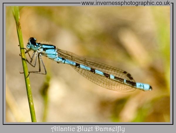 Atlantic Bluet Damselfly by jjmills