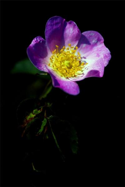 wild rose by arpix