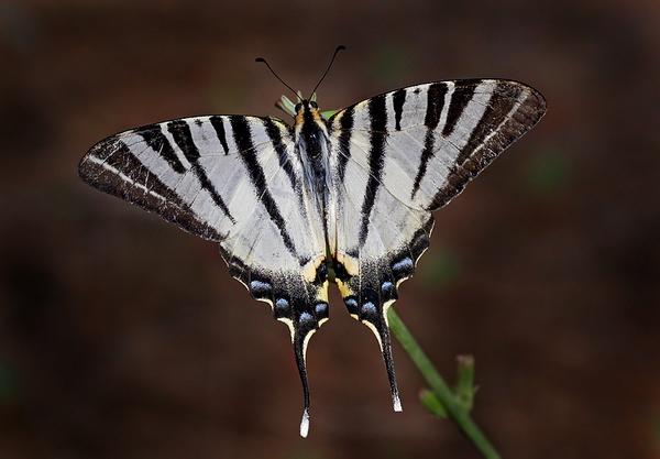Scarce Swallowtail by mattberry