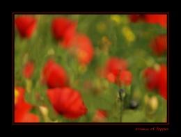 Essence of Poppies