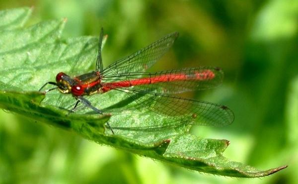 Red Damsen Fly by Deerman