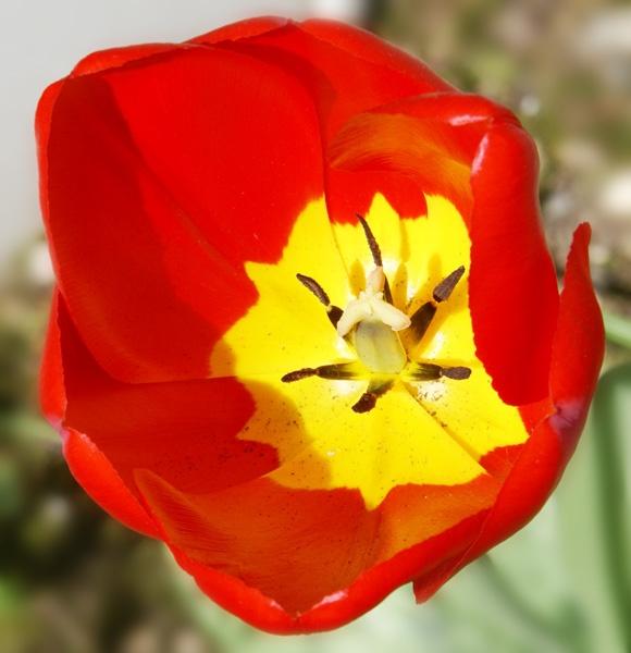 Tulip by bpjohn