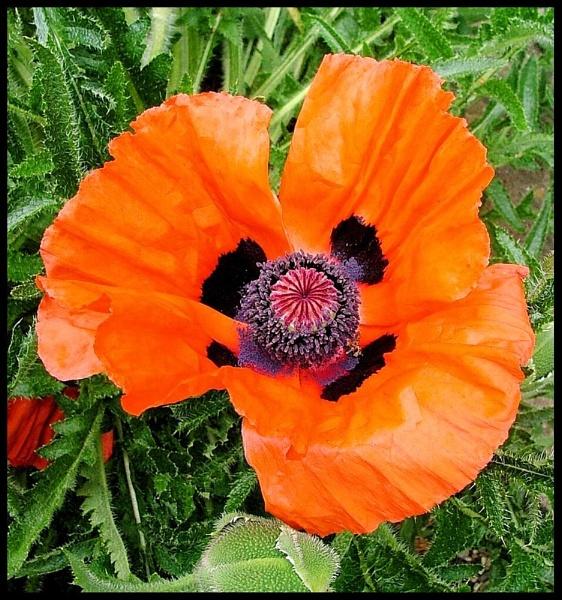 Grandiflora Poppy by MandyS