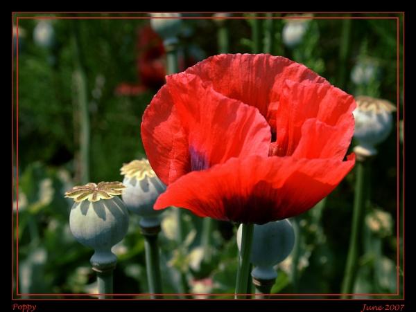 Poppy by catnappin