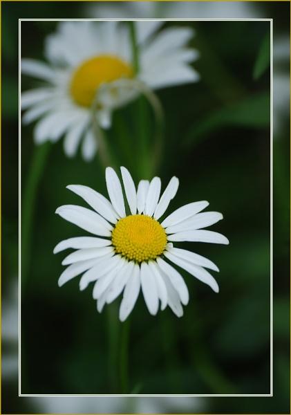 Daisy by stevebidmead
