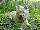 Lulu in the bluebells by HeidiS