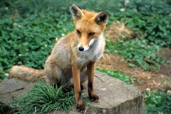 Fox - Vulpes vulpes. by Badgerfred