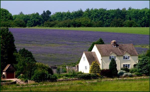 Backdrop of Lavender by SandraKay