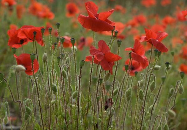 Poppies 1 by Tony_W