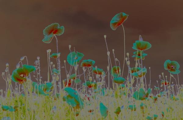 Poppies 2 by Tony_W