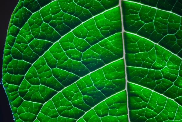 Poinsettia Leaf 1 by Tony_W