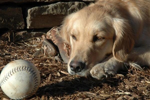 Golden Retriever Watching Softball by ellington