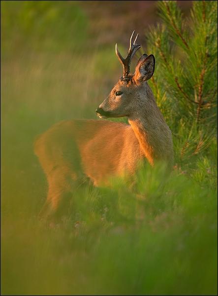 Roe Deer buck. by justin c