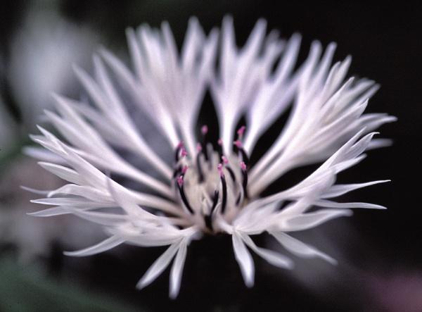 White Cornflower by kgb