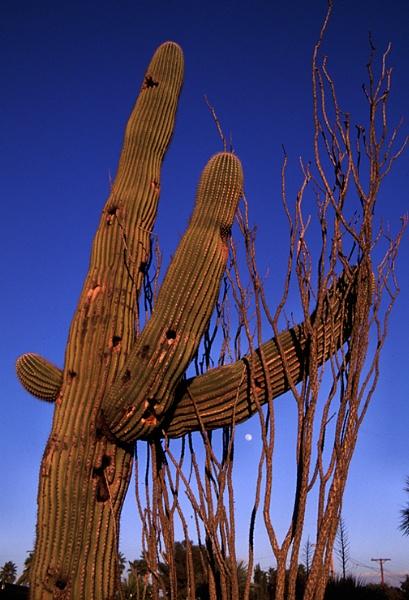 Saguaro Cactus by kgb