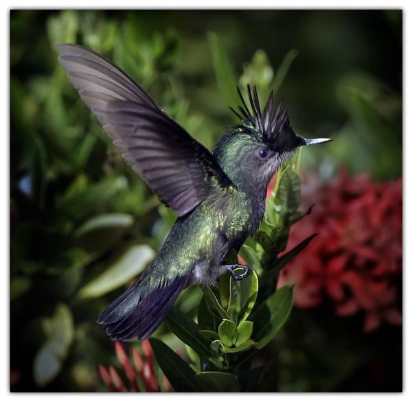 Humming Bird III by francisr
