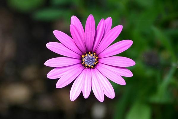Pink Flower Burst by liparig